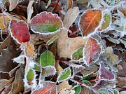 Linda Pope Metal Prints - Winter Leaves Metal Print by Linda Pope