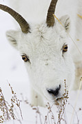 Conditions Posters - Winter Lunch for a Dall Sheep Poster by Tim Grams