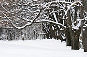 Covered Prints - Winter park with snow covered trees Print by Elena Elisseeva