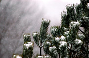 Pine Needles Photos - Winter Pine by Jeanne Quinn