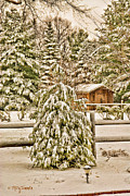 Sheds Digital Art Prints - Winter Pine Print by Mary Timman
