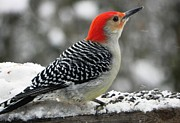 Cardinals. Wildlife. Nature. Photography Photos - Winter Red-Bellied Woodpecker by Jennifer Wosmansky