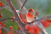 Finches Posters - Winter Red Poster by Betty LaRue