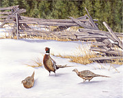 Pheasant Framed Prints - Winter Ringed-Necks Framed Print by Richard De Wolfe