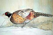 Pheasant Drawings Prints - Winter Ringneck Print by Debra Sandstrom