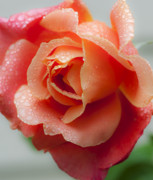 Water Droplets Photos - Winter Rose Five by Stephen Anderson