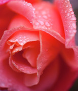 Water Droplets Photos - Winter Rose Three by Stephen Anderson
