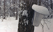 Jason Lane - Winter Sap Buckets