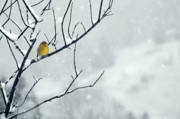 Feeding Birds Art - Winter Snow with a Touch of Goldfinch for Color by Laura Mountainspring