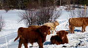 Country Scenes Pyrography Metal Prints - Winter Steer  Metal Print by The Kepharts