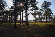 Sunshine Louisiana Framed Prints - Winter Sun in the Pines Framed Print by G J Cloninger