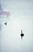 Winter Swans Print by Darren Fisher