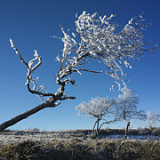 Snow-covered Landscape Metal Prints - Winter tree. Metal Print by Bernard Jaubert