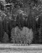 Mariposa County Prints - Winter Trees Ahwahnee Meadow Yosemite National Park Print by Troy Montemayor