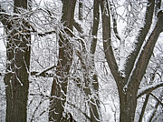 Winter Trees  Print by Aimee L Maher