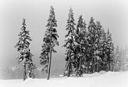 Marilyn Wilson - Winter Trees on Mount Washington