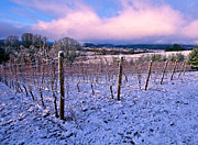 Winter Vineyard Print by Jean Noren