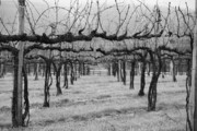 Vineyard Landscape Framed Prints - Winter Vineyard Framed Print by Sean Cupp