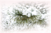 Pine Needles Framed Prints - Winter White Framed Print by Barbara  White