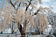 Larimer County Photos - Winter Willow by Harry Strharsky