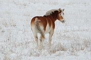 Belgian Draft Horse Photos - Winter Winds by Wanda Jesfield