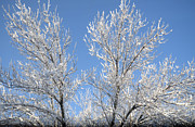 Winter Trees Metal Prints - Winter Wonderland Metal Print by Christine Belt