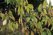 Dart Photos - Winterberry Euonymus darts Pride by Adrian Thomas