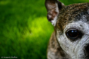 Senior Dog Posters - Wise Eye Poster by Susan Herber