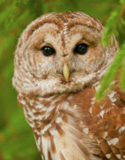 Barred Owl Posters - Wise One Poster by Ron  McGinnis