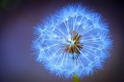 Wishes Prints - Wishes Dandelion Blue Print by Donald Davis
