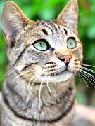 Tabby Cat Photos - Wishful Thinking by Fraida Gutovich