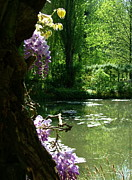 Eure Prints - Wisteria along the pond2 Print by Danny Cieloha