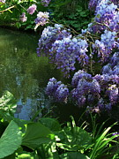 Eure Metal Prints - Wisteria along the pond3 Metal Print by Danny Cieloha