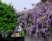 Wisteria In Bloom Framed Prints - Wisteria and Gate in Verona Italy Framed Print by Greg Matchick
