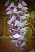 Woody Vine Prints - Wisteria Bloom Print by Teresa Mucha