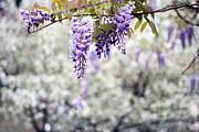Garden Scene Metal Prints - Wisteria Metal Print by Darren Fisher