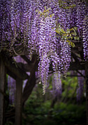Wisteria Framed Prints - Wisteria Droplets Framed Print by Mike Reid