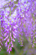 Flower-in-bloom Prints - Wisteria Flowers In Bloom Print by Natalia Ganelin