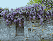 Wisteria Wall Viviers France Print by Susan Moss