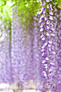 Close Focus Nature Scene Framed Prints - Wisteria Framed Print by Yoshika Sakai