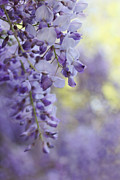 Wisteria Framed Prints - Wisterias Soft Floral Whispers Framed Print by Jennie Marie Schell