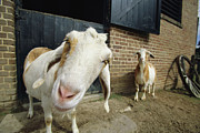 Humorous Photographs Prints - With Head Cocked, A Goat Peers Print by Michael Melford
