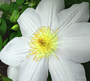 With Photos - With Yellow Clematis. by Heinz Mielke