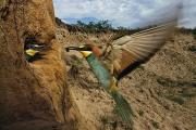 Feeding Birds Prints - Within The Nesting Hole, A Bee Eater Print by Joe Petersburger