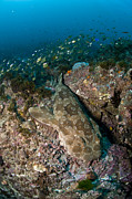 Ray Fish Prints - Wobbegong Shark And Cardinalfish, Byron Print by Mathieu Meur