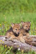 Howl Prints - Wolf Cubs On Log Print by John Pitcher