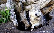 Wolf Den 1 Print by Marty Koch
