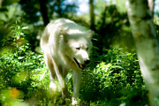 Arctic Wolf Photos - Wolf in the Forest by Bill Lindsay