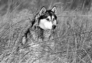 Brown Pyrography Metal Prints - Wolf in the Grass Metal Print by Kyle Gray