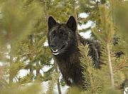 Wolf In Yellowstone Print by Gary Beeler